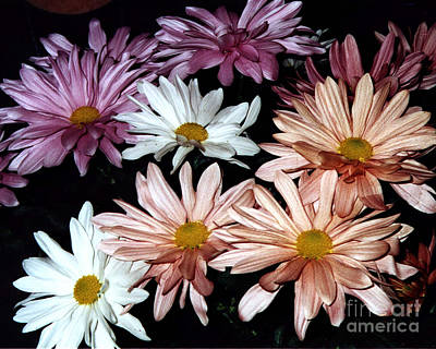 Art Print featuring the photograph Shasta Daisies by Merton Allen