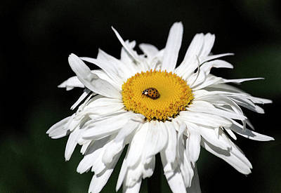 Photograph - Shasta Daisy With Ladybug In Watercolor II by Suzanne Gaff