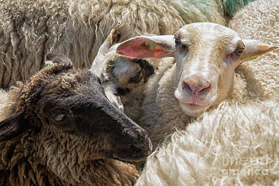 Photograph - Sheep In Close Up by Patricia Hofmeester