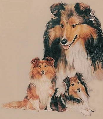 Mixed Media - Shetland Sheepdog by Barbara Keith