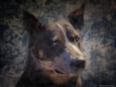 Photograph - Shevvy Australian Blue Heeler by Wallaroo Images