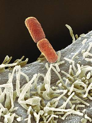 Shigella Bacteria, Sem Print by Spl