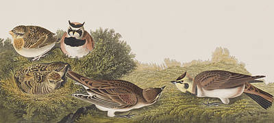 Shore Lark Art Print by John James Audubon