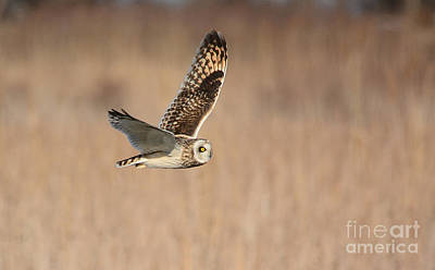 Photograph - Short-eared Owl by Charles Owens