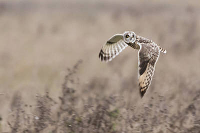 Photograph - Short Eared Owl by Prashant Meswani