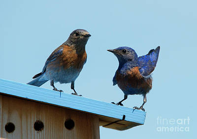 Bluebird Photograph - Showing Off by Mike Dawson