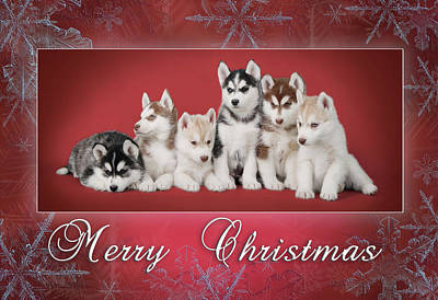 Photograph - Siberian Husky Christmas Card by Waldek Dabrowski