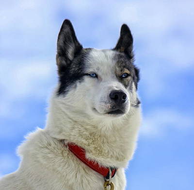 Photograph - Siberian Husky Dog Portrait by Elenarts - Elena Duvernay photo
