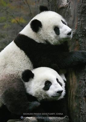Panda Wall Art - Photograph - Sichuan Giant Panda Sanctuary, China by OurPlace World Heritage