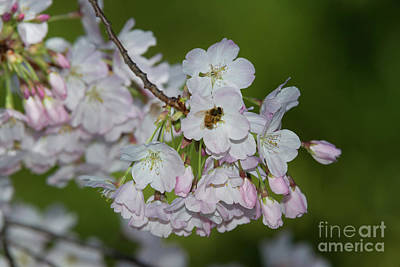Photograph - Silicon Valley Cherry Blossoms by Glenn Franco Simmons