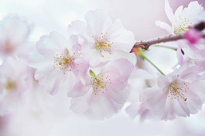 Photograph - Silky Petals. Spring Pastels by Jenny Rainbow