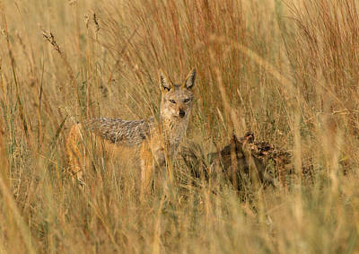 Silver Backed Jackal Art Print by Patrick Kain
