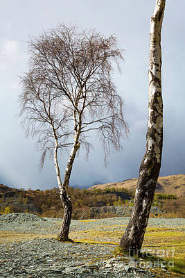 Langdale Pikes Photograph - Silver Birch - Hodge Close by Tony Higginson