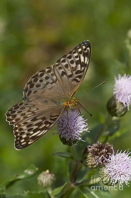 Silver-washed Fritillary Art Print by Steen Drozd Lund