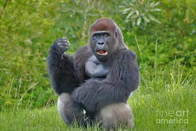 Photograph - 1- Silverback Western Lowland Gorilla  by Joseph Keane