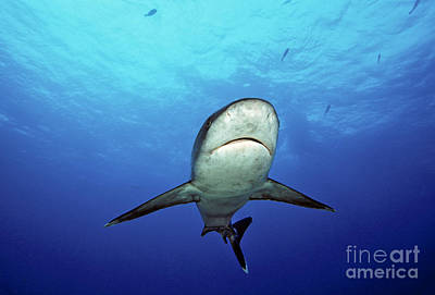 Silver Turquoise Photograph - Silvertip Shark by Dave Fleetham - Printscapes