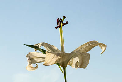 Photograph - Single Lilly Flower In Colour by John Williams