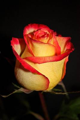 Yellow Rosebud Photograph - Single Rose by Cathie Tyler