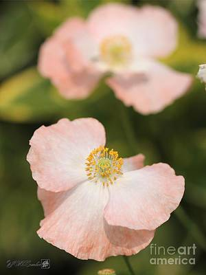 Photograph - Single White And Coral Poppy From The Angel's Choir Mix by J McCombie