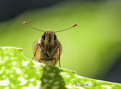 Photograph - Skipper Butterfly by Diane Giurco