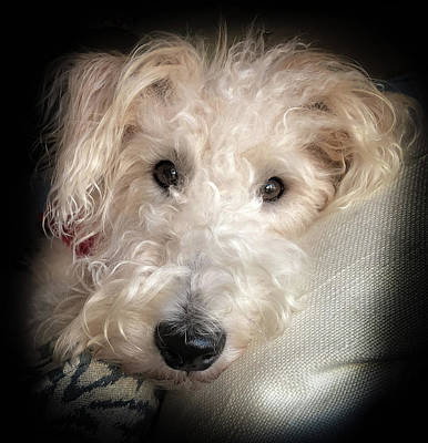 Photograph - Skipper The Wire Fox Terrier by Karen Wiles