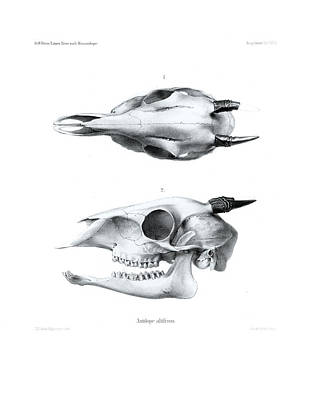 Drawing - Skull Of A Bush Duiker, Sylvicapra Grimmia by J D L Franz Wagner