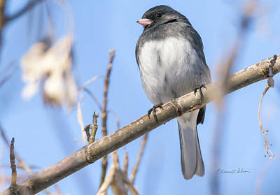 Photograph - Slate-colored Junco by Edward Peterson