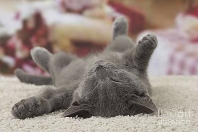 Chartreux Wall Art - Photograph - Sleeping Kitten by Jean-Michel Labat