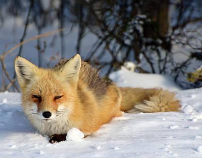 Photograph - Sleepy Little Fox by Sami Martin