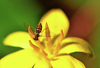 Photograph - Small Bee On A Yellow Flower 003 by George Bostian