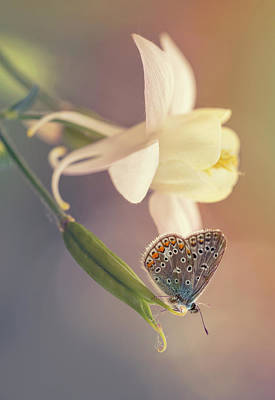 Photograph - Small Butterfly On Creamy Columbine Flower by Jaroslaw Blaminsky