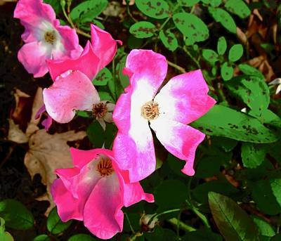 Photograph - Small Pink Roses by Stephanie Moore