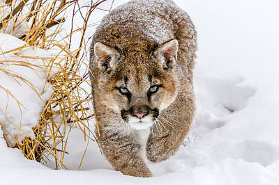 Snow Cat Photograph - Sneaky Cougar by Mike Centioli