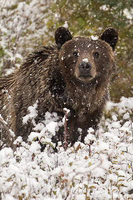 Photograph - Snow Bear by Sandy Sisti