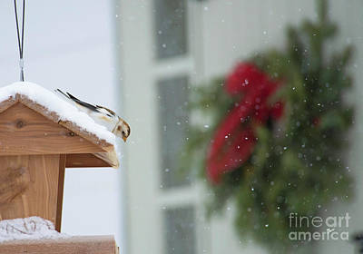 Photograph - Snow Bunting  by Alana Ranney
