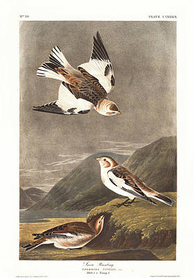 Bunting Drawing - Snow Bunting by Dreyer Wildlife Print Collections