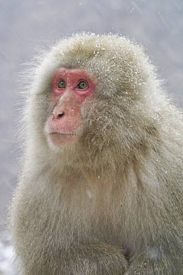 Photograph - Snow-dusted Monkey by Michele Burgess