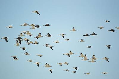Photograph - Snow Geese by Bonfire Photography