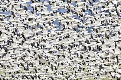 Snow Geese Photograph - Snow Geese Chen Caerulescens Wintering At The Skagit River Del by Ed Book