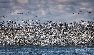Photograph - Snow Geese In Flight by Lisa Plymell