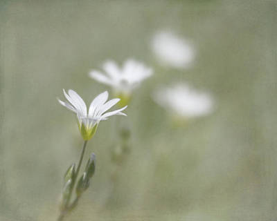 Photograph - Snow In Summer by Jennifer Grossnickle