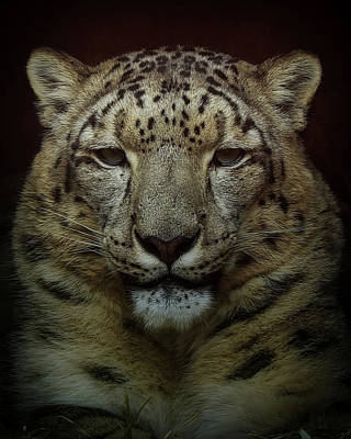 Photograph - Snow Leopard  by Ernie Echols
