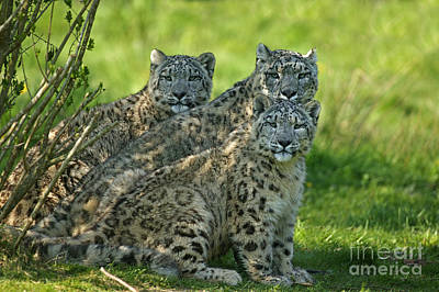 Snow Leopard Or Ounce Uncia Uncia Art Print by Gerard Lacz
