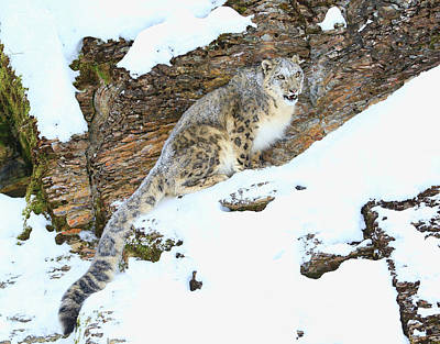 Photograph - Snow Leopard by Steve McKinzie