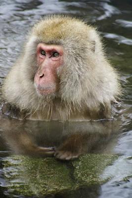 Photograph - Snow Monkey Bath by Michele Burgess