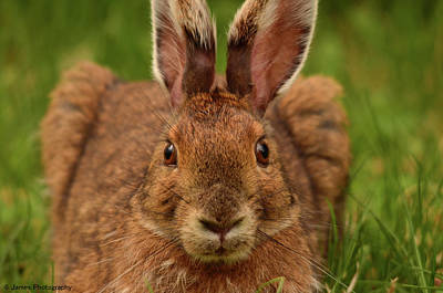 Photograph - Snowshoe Hare by James Petersen