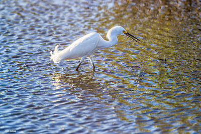 Photograph - Snowy Egret Fishing by Fran Gallogly