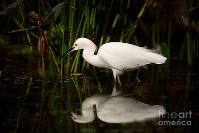 Target Threshold Nature Royalty Free Images - Snowy Egret Royalty-Free Image by Matt Suess