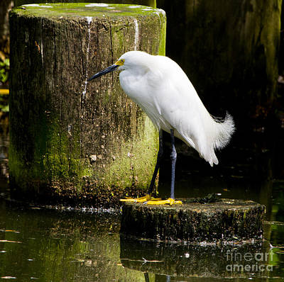 Photograph - Snowy Egret by Ricky L Jones