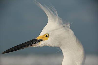 Photograph - Snowy Egret by Sean Allen